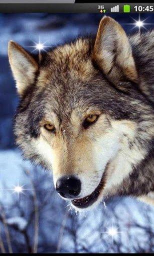 Скачать Волк Песня HD живые обои для Андроид
